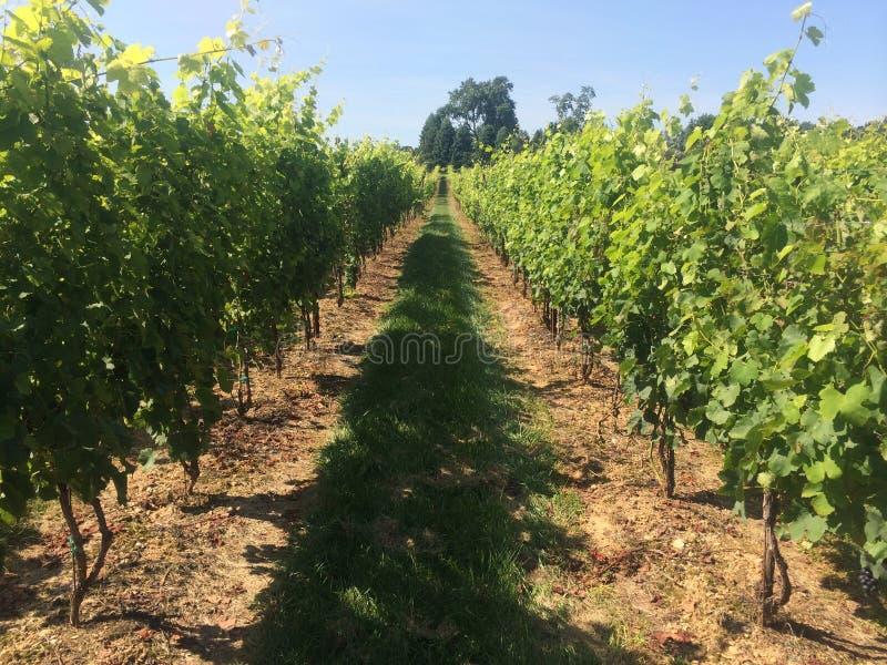 Syrah Grapes on the Vine stock photos