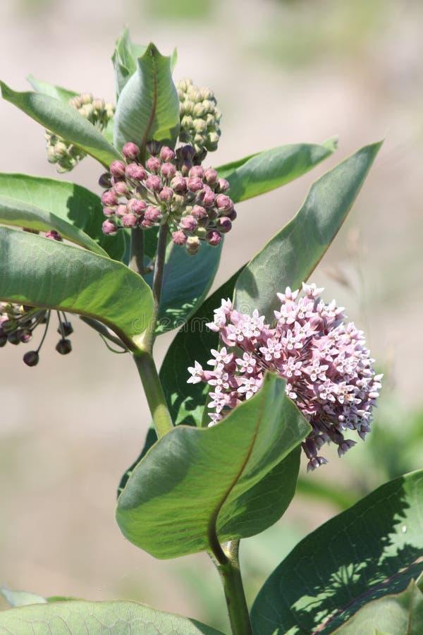 Syriac Usine-fleurissant d'Asclepias de Milkweed photo stock