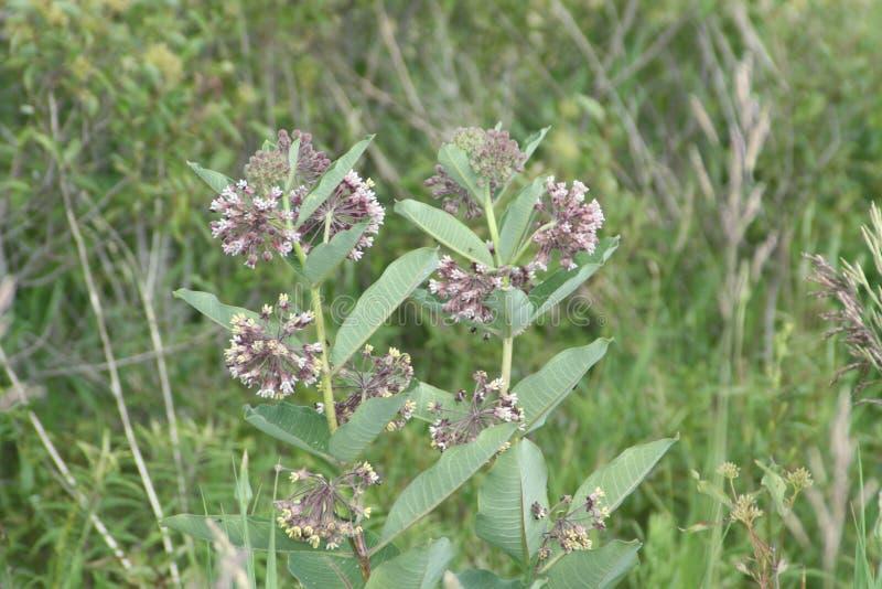 Syriaca d'Asclepias de fleur de Milkweed images stock