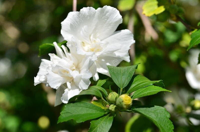 Syriacus branco dobro-florescido de florescência do hibiscus fotos de stock