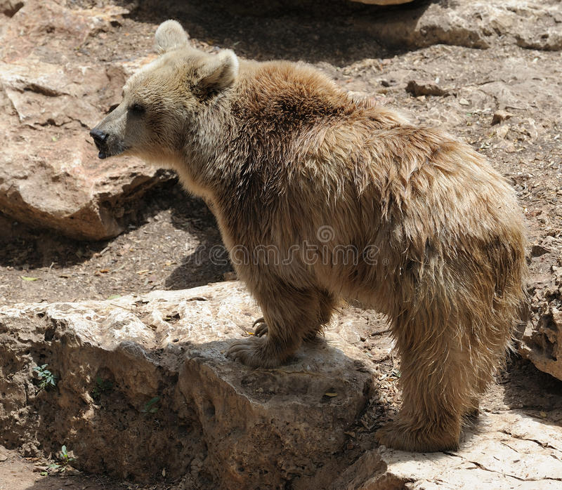 Download Syrian bear stock image. Image of predator, beige, bear - 11704699