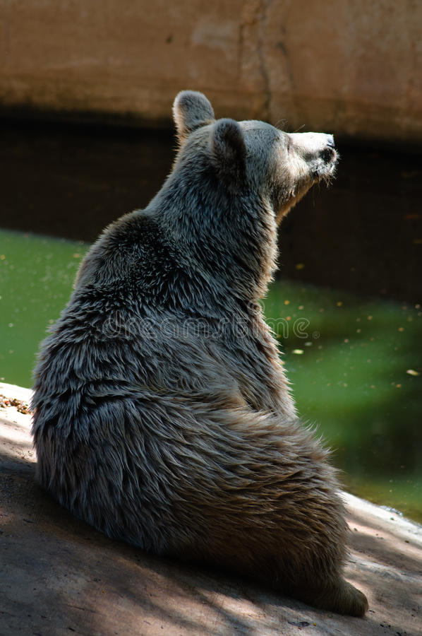 Download Syrian bear sits up stock image. Image of water, bear - 33057029