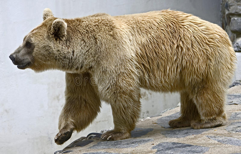 Download Syrian brown bear 16 stock image. Image of animal, nice - 12902693