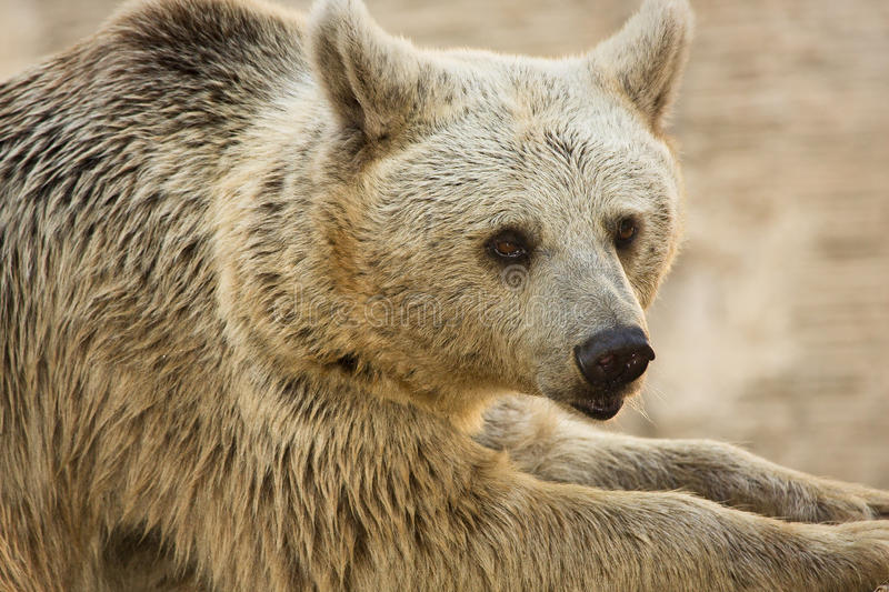 Download Syrian Brown Bear portrait stock image. Image of nature - 10400929