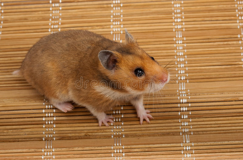 Download Syrian Hamster, Goldhamster (Mesocricetus Auratus) Stock Photo - Image: 13126074
