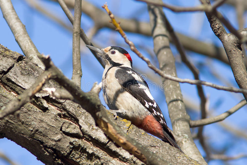 Syrian Woodpecker / Dendrocopos Syriacus Stock Photos
