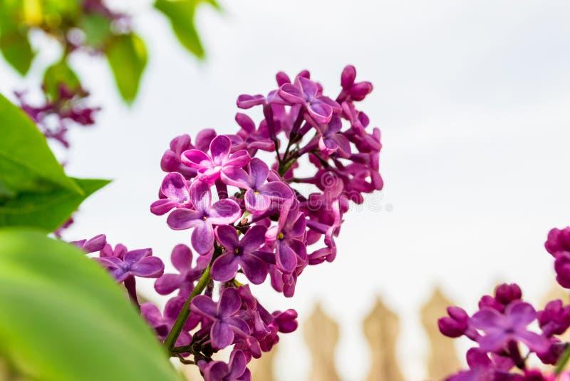 Syringa цветка общей сирени vulgaris в ярком солнечном свете, с расплывчатым частоколом на заднем плане стоковое изображение