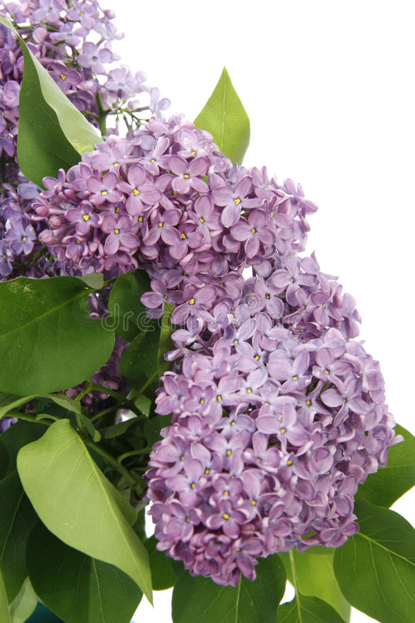 Syringa. Close-up of syringa blossoms over white background stock photo