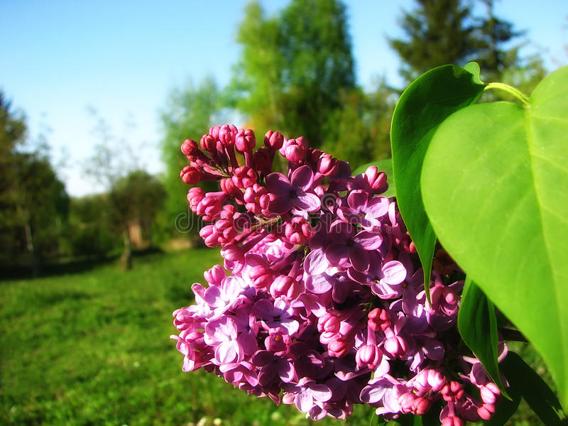 Syringa. On a meadow in Fruska gora national park royalty free stock images