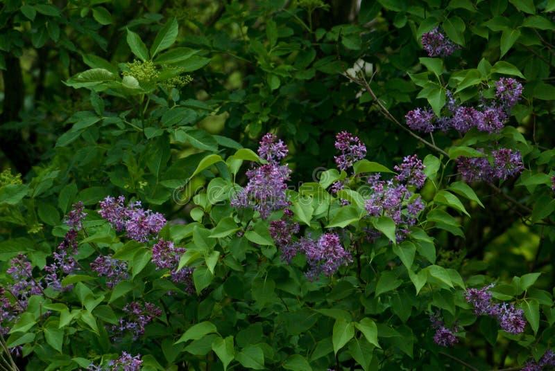 Syringa, arbusto lilás no jardim fotos de stock royalty free