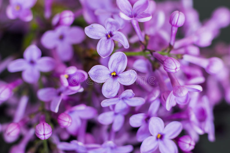 Syringa. A close-up of syringa flowers stock photos