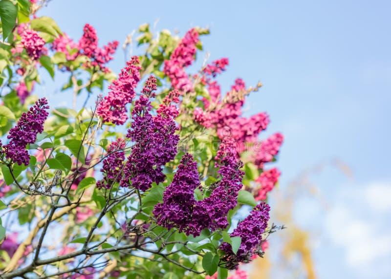 Syringa de floraison Branche lilas dans le printemps Fleurons violets de ressort lilas dans le jardin image libre de droits