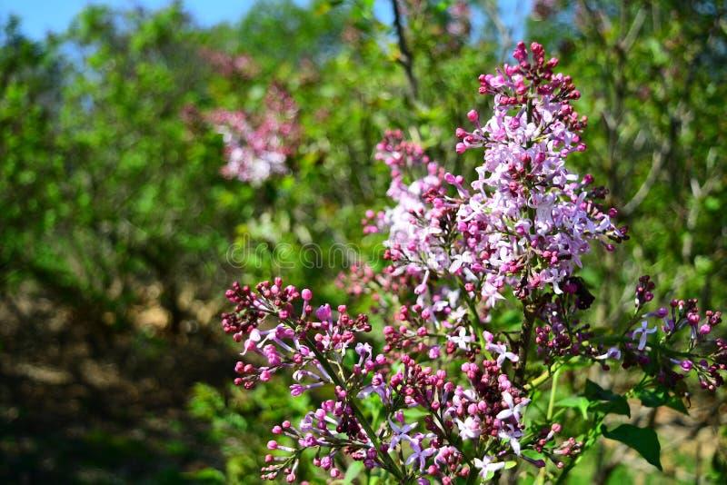 Syringa Hyacinthiflora w parku zdjęcie stock