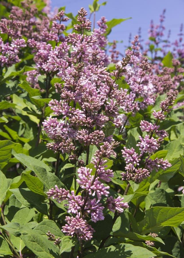Syringa jest genus krzaki należy Oleaceae rodzina Luksusowy krzak który r dobrze outdoors i, niezwykle zimnotrwały, zdjęcia royalty free