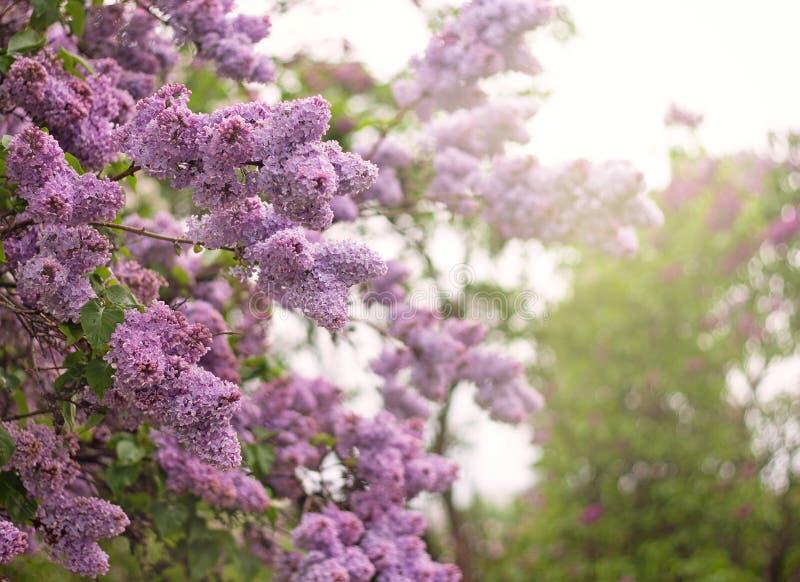 Syringa kwiatów kwitnąć rozjaśnia w górę słońca zdjęcia royalty free