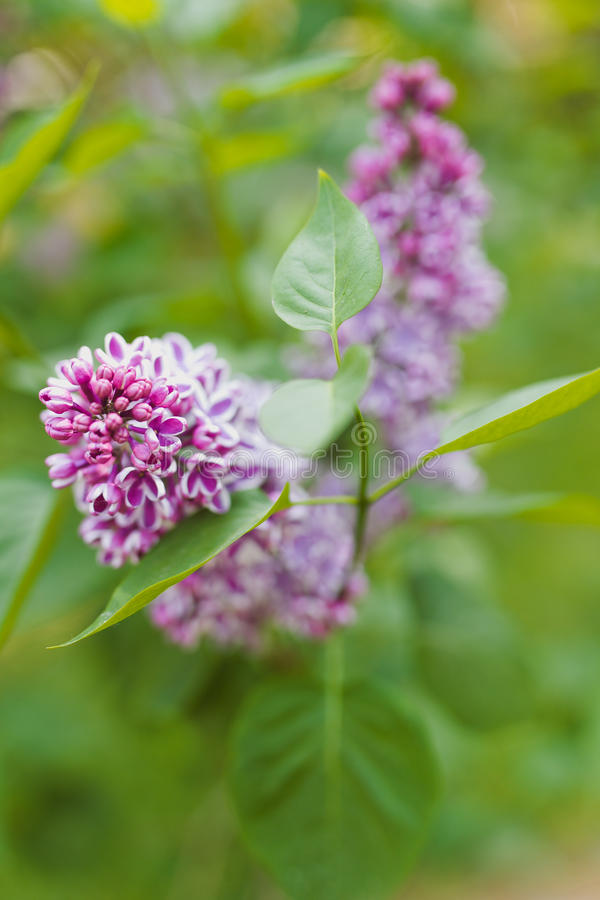 Syringa. Lilac syringa closeup view on the green background royalty free stock photos