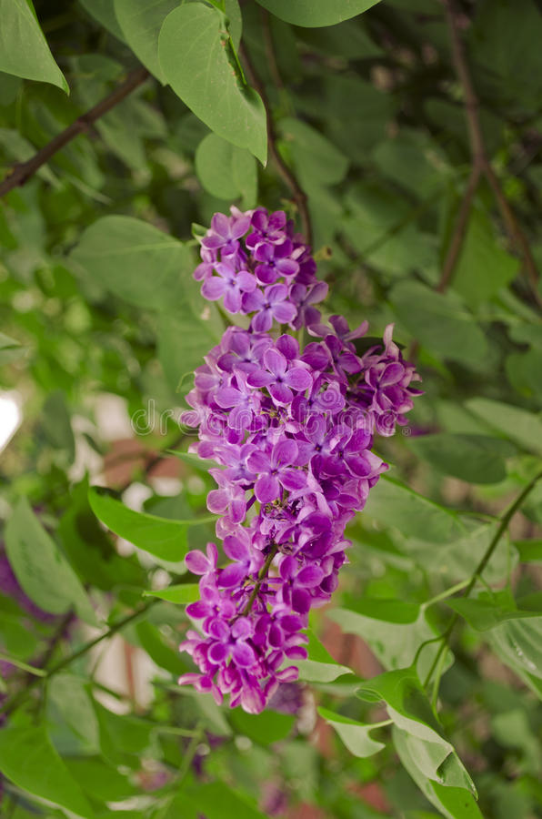 Syringa Lilac flowers stock photo