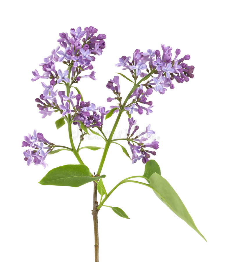 Syringa (Lilac) isolated on white background. Macro photo royalty free stock image