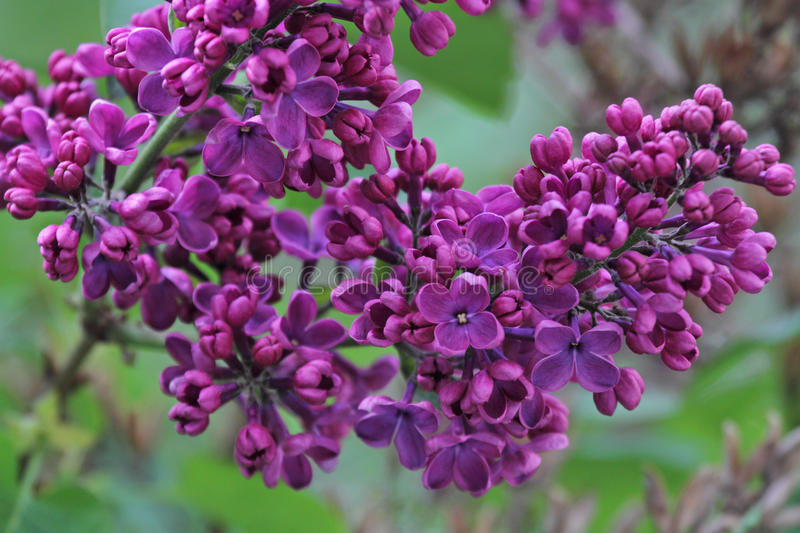 Syringa - Lilac tree royalty free stock images