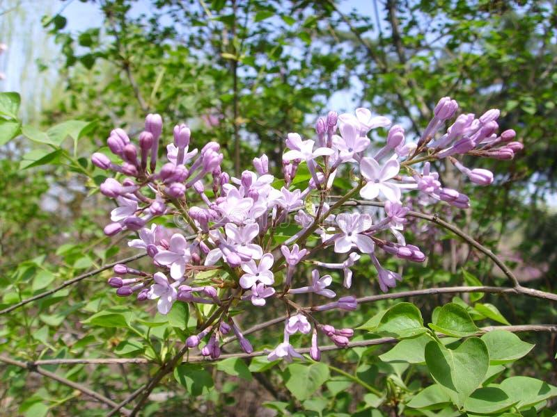 Syringa linn. Syringa (scientific name: Syringa Linn.): Also known as lilac genus, the genus is a deciduous shrub or small tree; most for ornamental use, some stock photography