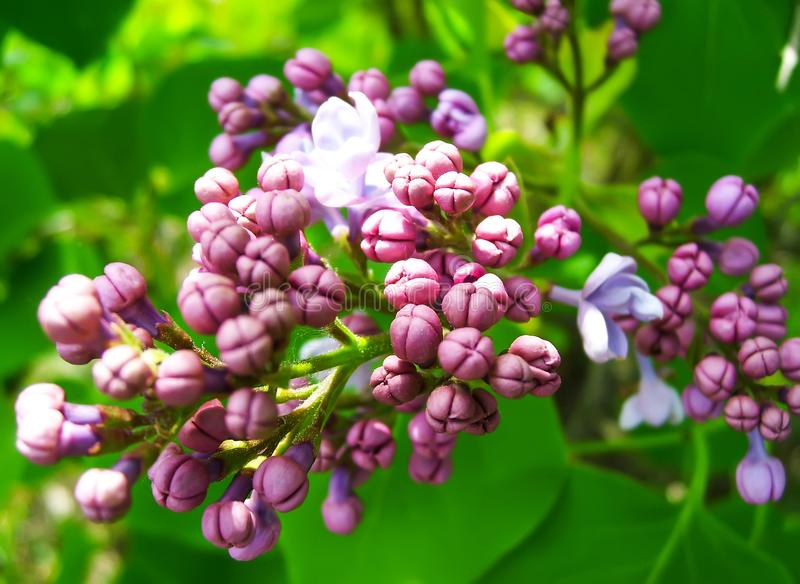 Syringa plant. Purple syringa flowers royalty free stock image