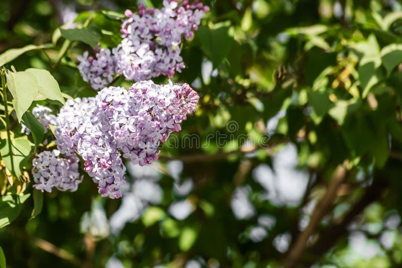 Syringa pourpre lumineux vulgaris sur les branches vertes photo stock