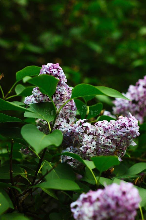 Syringa som är vulgaris på träd fotografering för bildbyråer