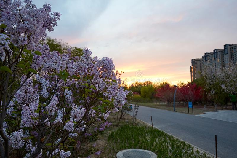 Syringa in sunset. Purple and white syringa in garden, sunset stock photography