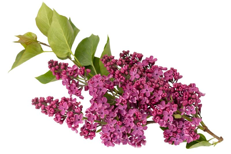 Syringa vulgaris, ιώδες λουλούδι ανοίξεων στο άσπρο υπόβαθρο στοκ φωτογραφίες