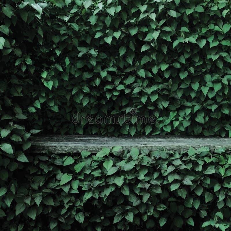 Syringa vulgaris κοινό ιώδες υπόβαθρο φρακτών φύλλων φυτών πράσινο, παλαιά ηλικίας σκούρο γκρι ξεπερασμένη ξύλινη θέση πάγκων, με στοκ φωτογραφίες