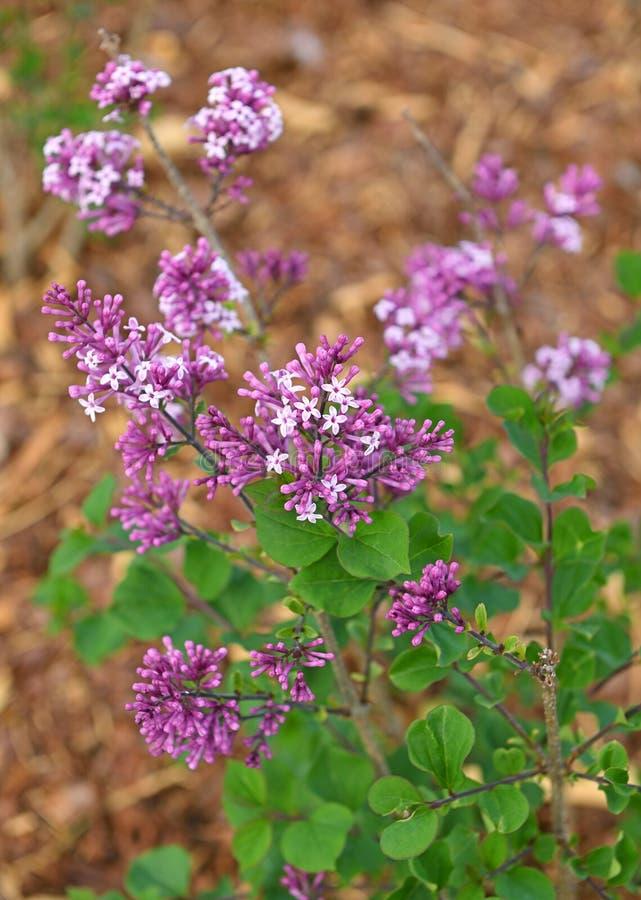 Syringa vulgaris bez lub pospolity bez, gatunki kwiatonośna roślina w oliwnej rodziny Oleaceae obrazy royalty free