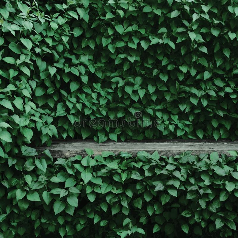 Free Syringa Vulgaris Common Lilac Plants Green Leaf Hedge Background, Old Aged Dark Gray Weathered Wooden Bench Niche, Large Detailed Stock Photo - 128021580