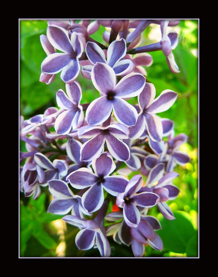 Syringa Vulgaris flower macro background stock photo