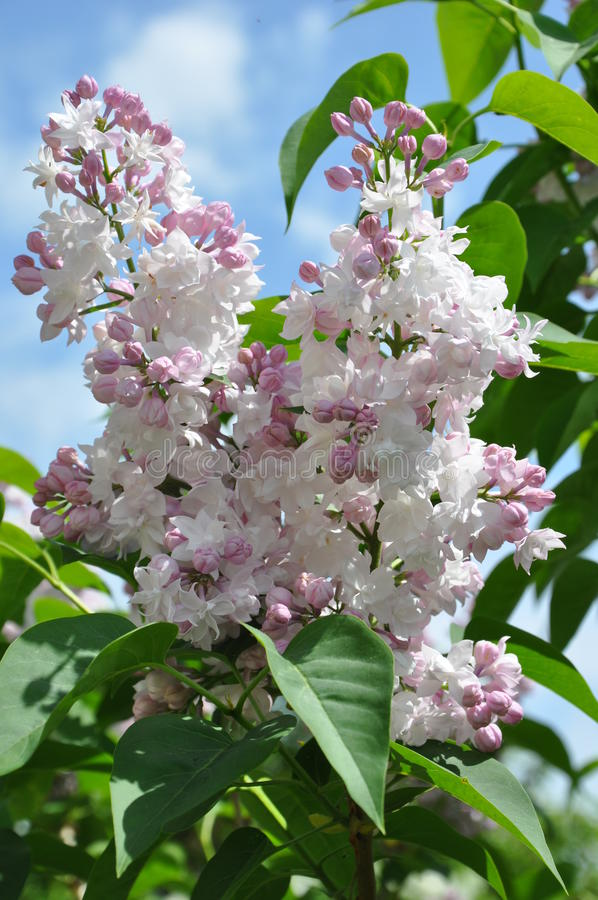 Syringa vulgaris ` Krasavica Moskvy ` royalty-vrije stock foto's