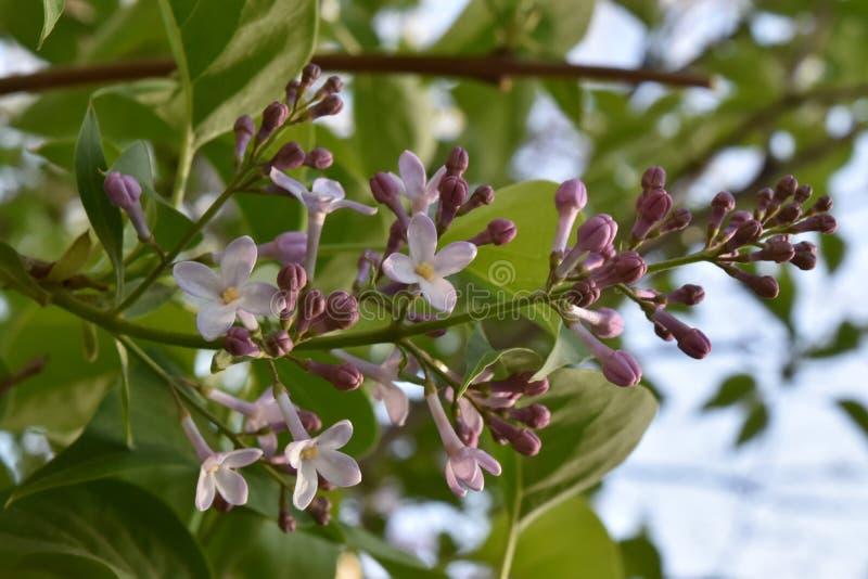 Syringa vulgaris, lilac stock image