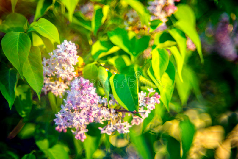 Syringa vulgaris. Lilac, Syringa vulgaris on soft morning light and bokeh stock photos