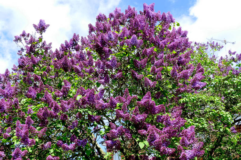 (Syringa Vulgaris) Lilac tree. SUTTON-IN-ASHFIELD, NOTTINGHAMSHIRE, UK. MAY 22, 2016. A Lilac tree (Syringa Vulgaris) in Spring bloom at Sutton-in-Ashfield in royalty free stock photo