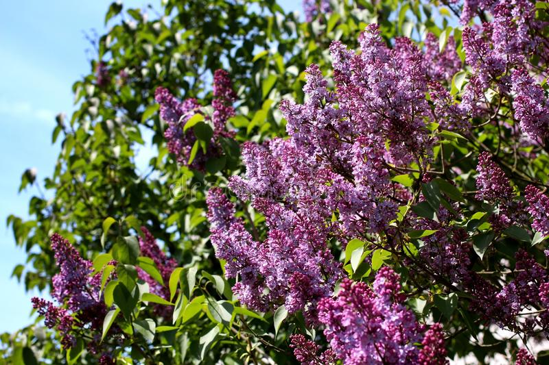 Syringa vulgaris. Violet flowers of syringa vulgaris stock photos