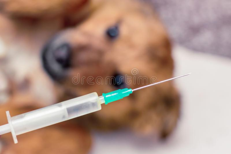 Syringe with needle for vaccination of a dog. Treatment of a sick dog_ royalty free stock images