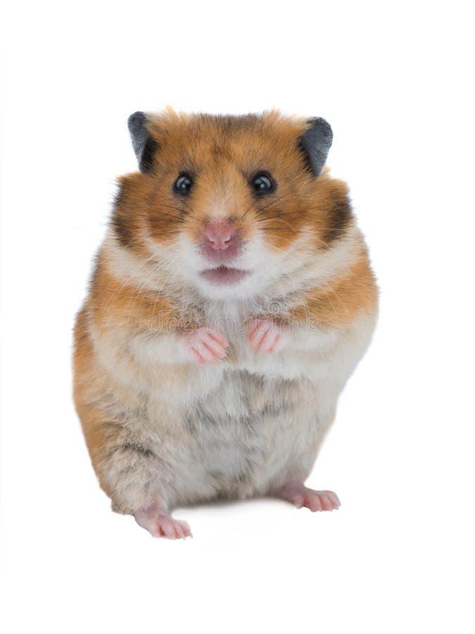 Syrische geïsoleerde hamster royalty-vrije stock afbeelding