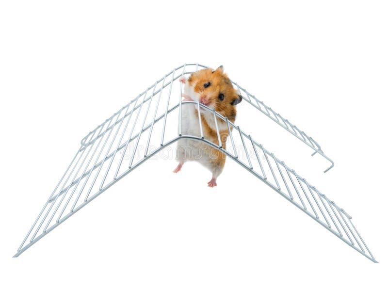 Syrische hamster op de sportenladder stock fotografie