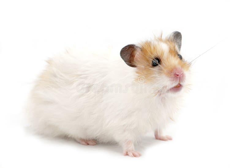 Syrischer Hamster stockbild