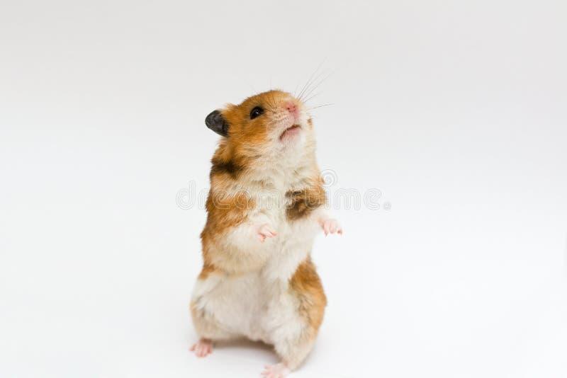 Syrischer Hamster stockfotos