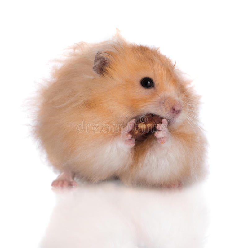 Syrischer Hamster, der eine Nuss isst stockfotos