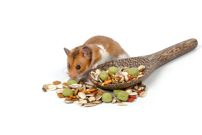 Syrischer Hamster, der Hamsterlebensmittel isst stockfotos