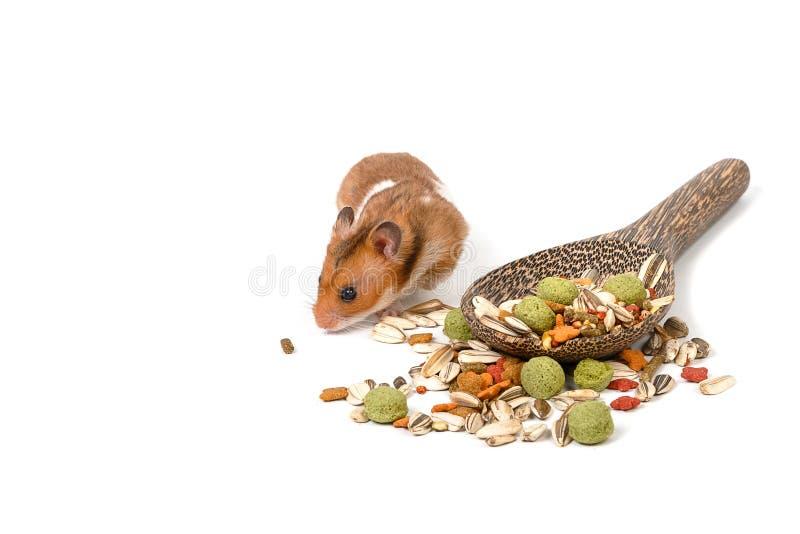 Syrischer Hamster, der Hamsterlebensmittel isst lizenzfreies stockbild
