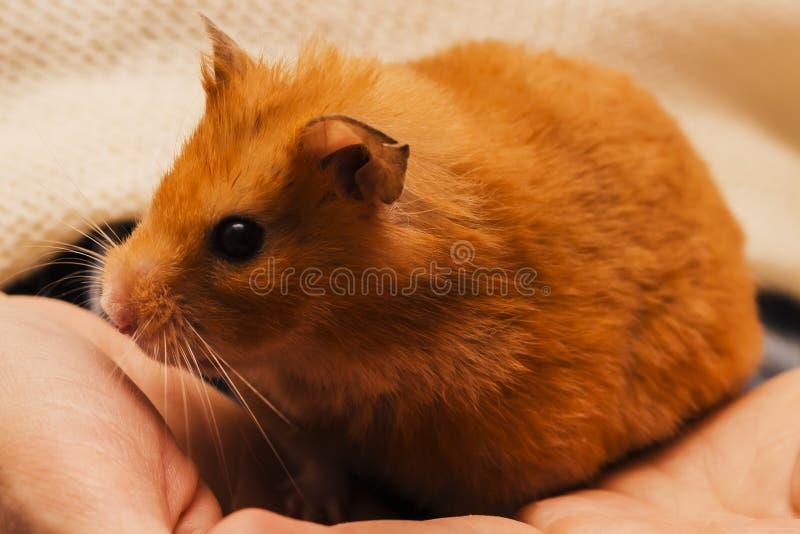 Syrischer Hamster sitzt auf der Hand Abschluss oben stockbild