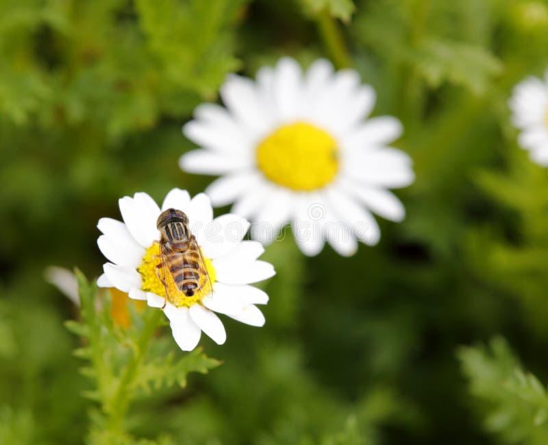 Syrphid吃在雏菊,多孔黏土rgb的花蜜 库存图片