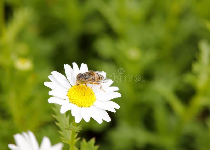 syrphid吃在雏菊,多孔黏土rgb的花蜜 免版税库存图片