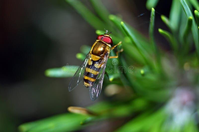 syrphid мухы стоковое изображение rf